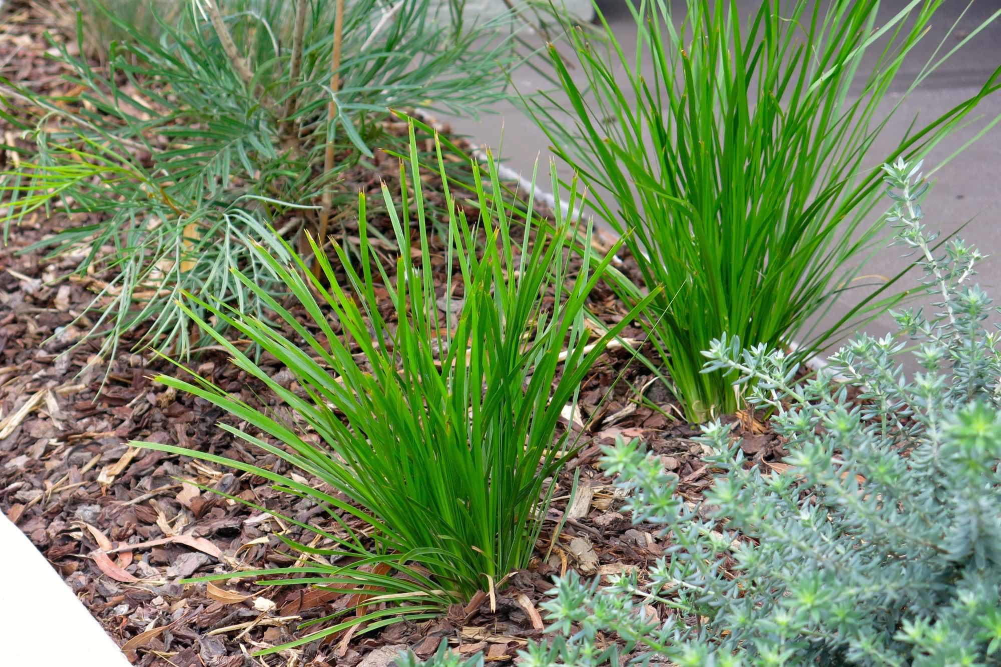 Australian Poa grass